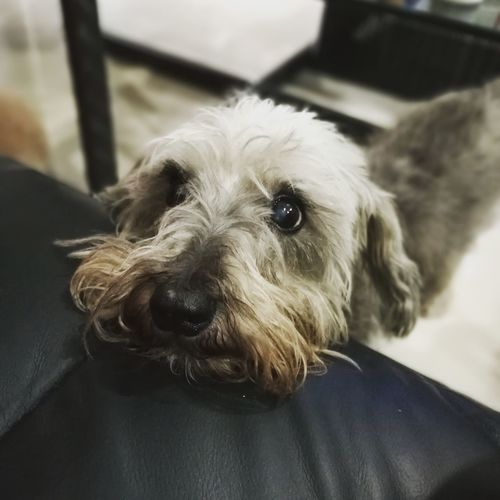 Hey, I'm over here. Some attention please Dog Pets Domestic Animals Animal Themes One Animal Mammal Close-up Portrait Indoors  No People Day Schnauzerlife Schnauzer Pets Domestic Dogs Pet Portraits
