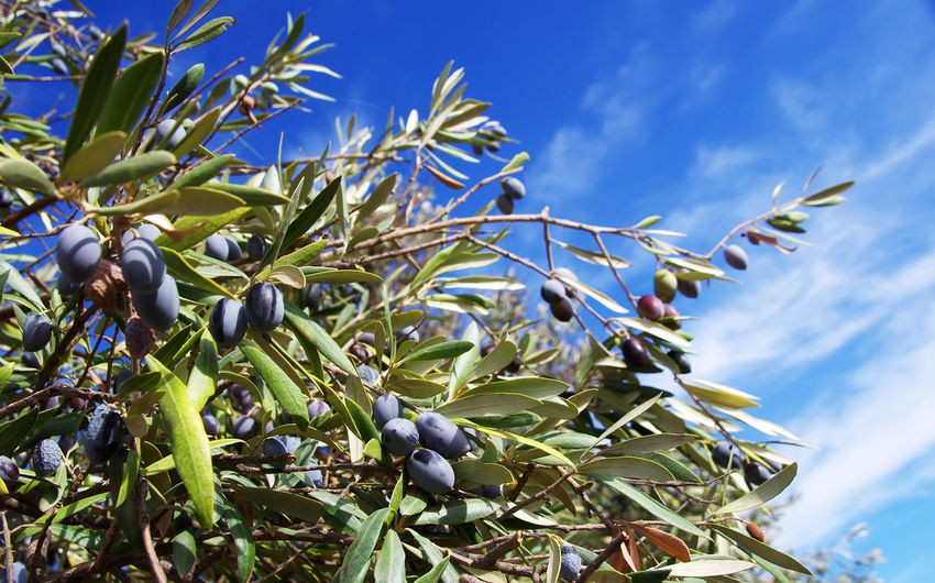 olives on the branch of an olive tree Branch Olive Tree Agriculture Black Olive Close-up Green Color Growth Nature Olives Leafs Sky Tree