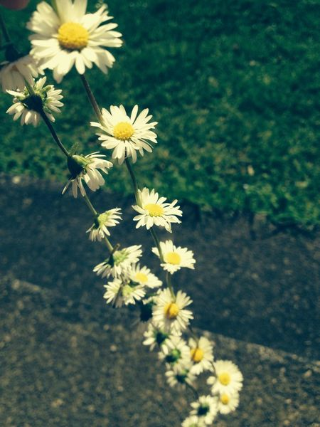 Flowers :* Flowers Daisy Chains