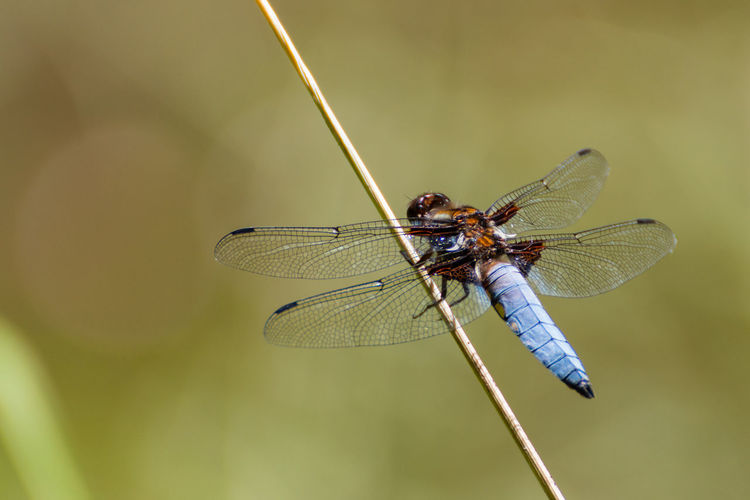 Libellula Depressa Plattbauch Animal Animal Wildlife Close-up Dragonfly Focus On Foreground Insect Nature One Animal