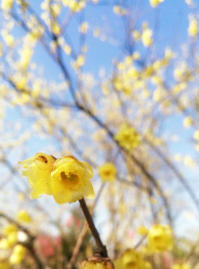 Colour Your Horizn Nature Autumn Flower Yellow Focus On Foreground Beauty In Nature No People Close-up Tree Springtime Outdoors Growth Branch Leaf Day Fragility Plant Sky Freshness
