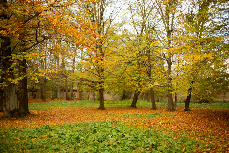 Autumn forest in the Baltic States. Kaliningrad, Russia. Autumn Tree Leaf Plant Part Beauty In Nature Tranquility Scenics - Nature No People Yellow Outdoors WoodLand Autumn Collection Fall Fallen Leaves Fallen Leaves... Fallen Leaves On The Ground Yellow Leaves Yellow Leaves Background