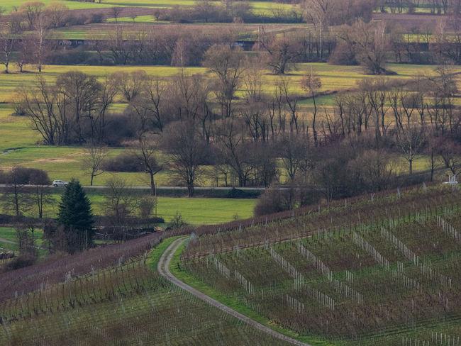 Rebland mit Weinstöcken und Rheinebene bei Baden-Baden Rhine Valley Rheinebene Weinberg Landscape Nature Field Tranquil Scene Tree Rural Scene Agriculture Beauty In Nature