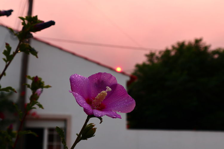 Close-up of pink flowering plant against sky during sunset