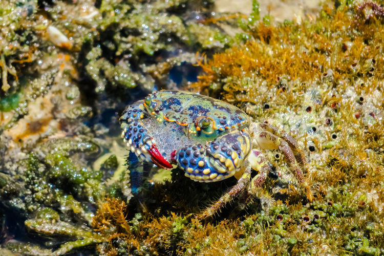 "Crabs of the species ""ARATÚ"" Animal Themes Animal Wildlife Animals In The Wild Close-up Crab Crayfish Crustacean Day Maximum Closeness Nature No People One Animal Outdoors Sea Life Water"