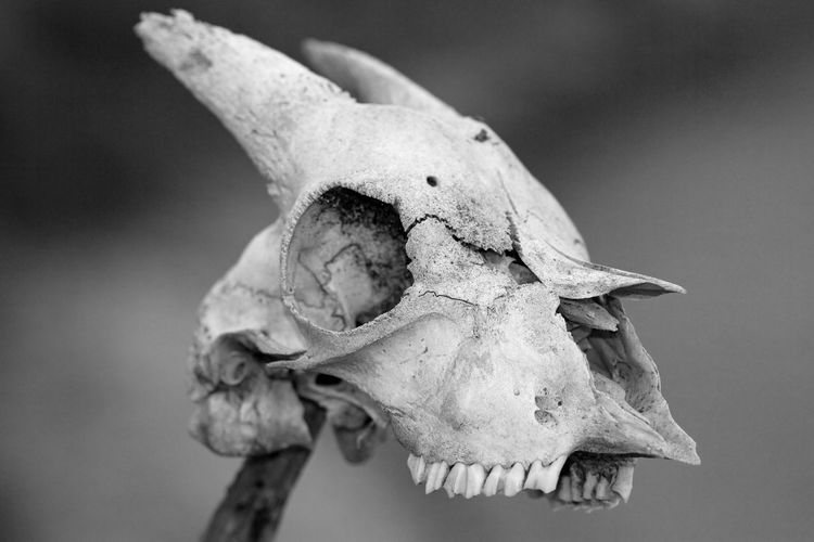 Close up of sun bleached goat skull with blurred background