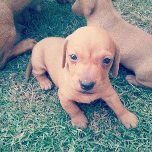 Dog Perrito Salchicha Cachorro cute lovely nice pequeño dulce summer