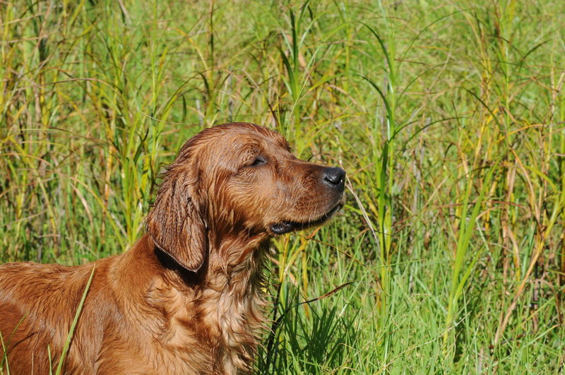 Scenting Game Rustic Scenting Game Animal Themes Brown Close-up Day Dog Domestic Animals Game Animals Grass Hunting Dog Mammal Nature No People One Animal Outdoors Pets Retriever Retriever Dog Scenting