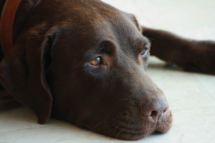 Close-up of chocolate labrador relaxing at home