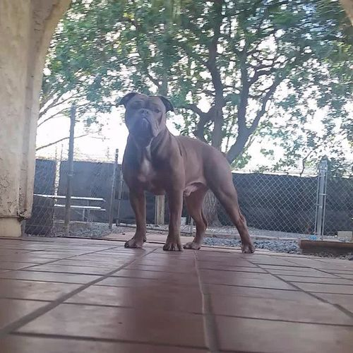 Prince Oneofakindbulldogs Bulldogs Oldeenglishbulldogges OEB premierbreeder bulldogbreeder prince purplerain victorianbulldogs bullyinstagram