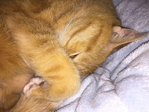 Tap is my best pet friend ❤️😍 Sweet Cat Sleeping Cat Catlife Katzenleben Katzenfotografie Cat Photography Cat Dream I Love My Cat ❤ Cat Nap My Cat Best Friend Pets Sleeping Ginger Cat Close-up Eyes Closed  Relaxation