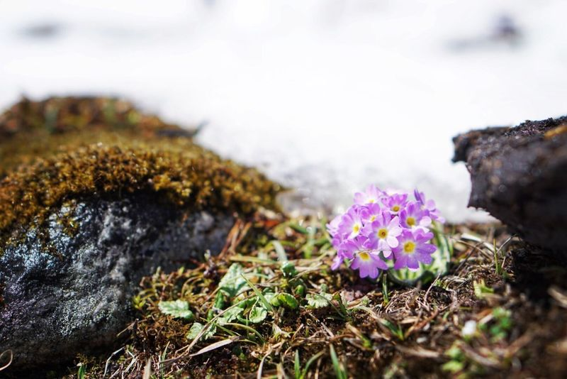 Beauty In Nature Primulas Yumthang Valley Sikkim India