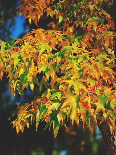 """Autumn Cascade"" A beautiful cascade of colorful Autumn leaves spills from a maple tree on a suburban street in Northern California. California Fall Leaves Autumn Leaves Fall Beauty Autumn colors Fall Colors Fall Autumn Collection Autumn Leaf Autumn Plant Change Beauty In Nature Tree Branch Orange Color Leaves Focus On Foreground Maple Leaf Close-up"