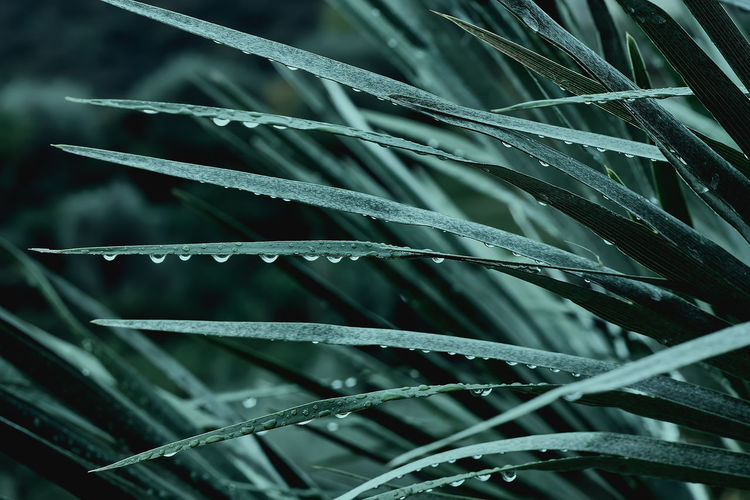 Beautiful foliage in tidewater green color. droplets of water on tropical palm leaf closeup.