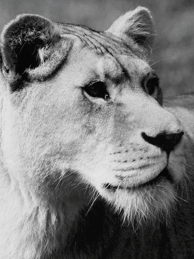 Shades Of Grey Lions Beautiful Nature Jungle VIP