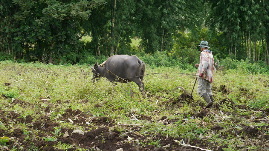 Farmer Plowing With Buffalo At Field