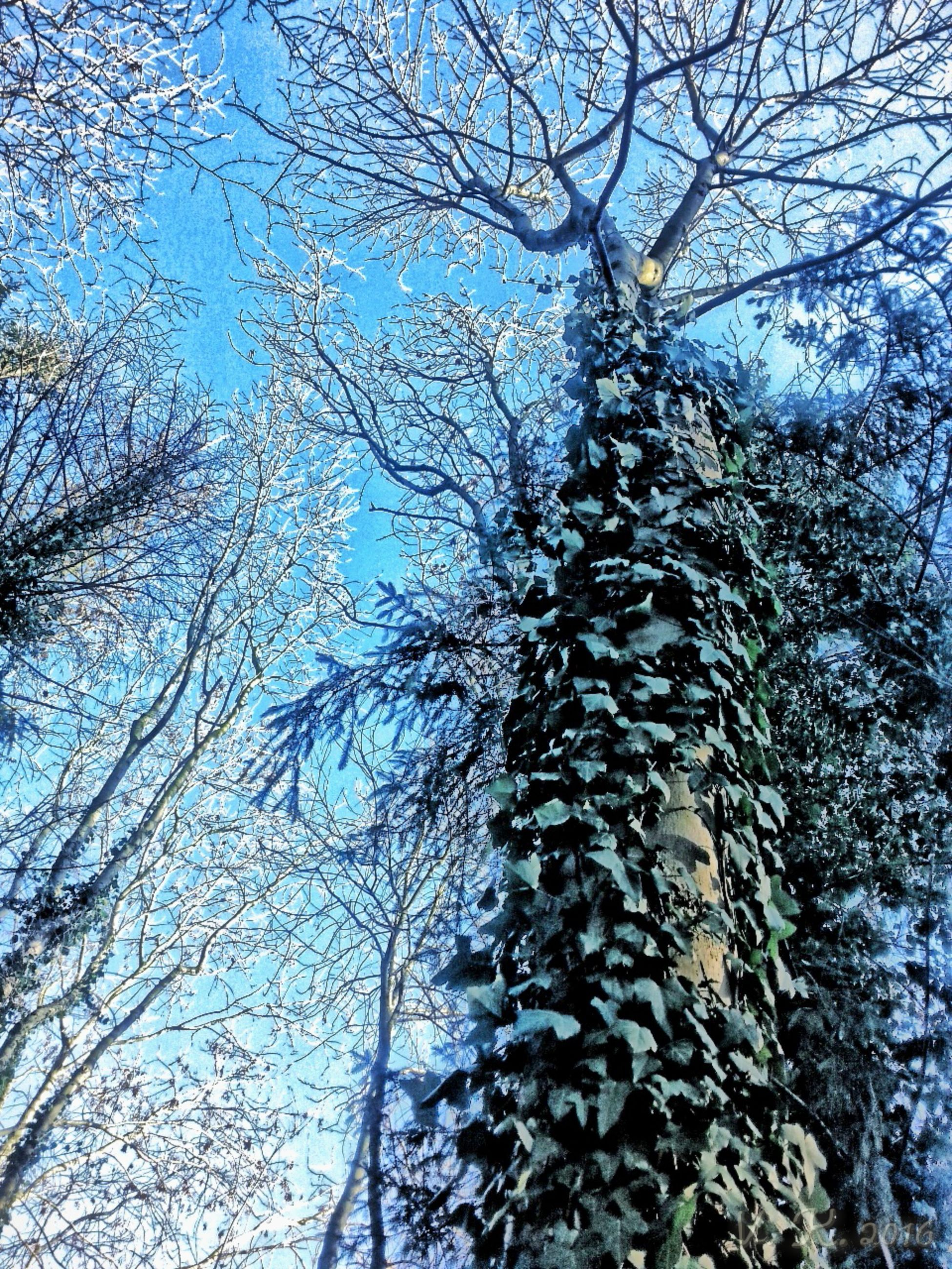 tree, low angle view, branch, bare tree, nature, clear sky, growth, tranquility, sky, beauty in nature, winter, day, blue, cold temperature, outdoors, scenics, snow, no people, tree trunk, sunlight