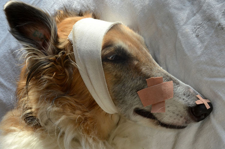 Borzoi dog with FAKE injuries. Dogs Injured Veterinarian Animal Themes Band Aid Bandages Borzoi Close-up Day Dog Domestic Animals Healthy Eating Illuminated Indoors  Lying Down Mammal No People One Animal Pets Sky Wounds