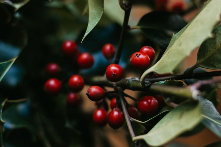 Christmas holly red berries. ilex aquifolium backgound. close-up of red berries growing on tree