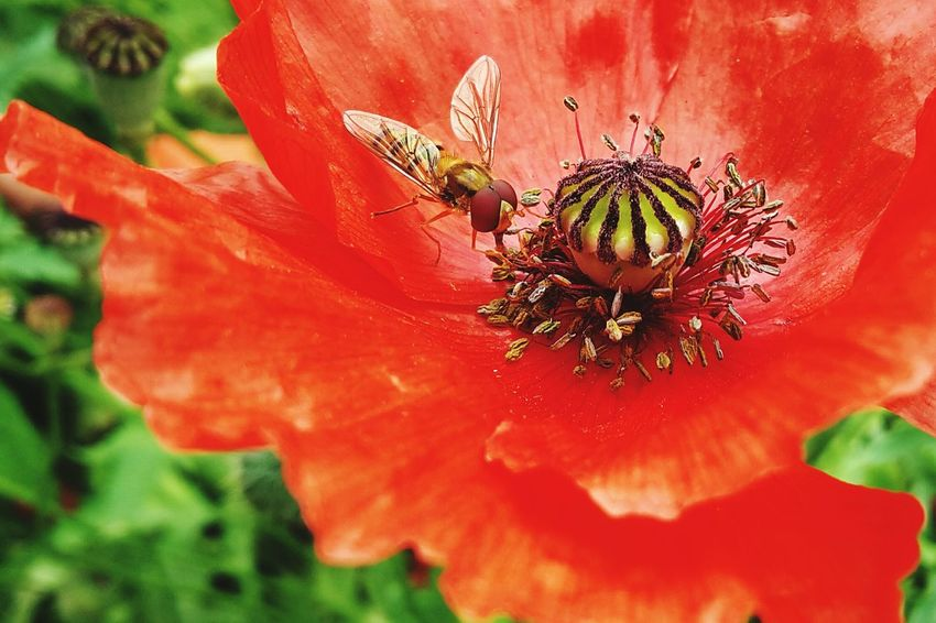 Biene Pollen Sammeln Poppy Flower Garten Garden Nature Natur PoppySeed Bee Mohnblüte Garden Flowers Mohn Mohnblume Nature Red Red Flower Rote Blume No People Honey Bee Pollination Honeycomb Pollen Poppy