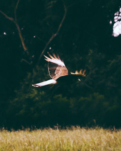 Animal Themes Animal Wildlife Animals In The Wild Beauty In Nature Bird Bird Of Prey Close-up Day Flying Grass Mid-air Motion Nature No People One Animal Outdoors Spread Wings
