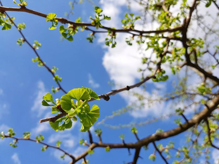 ❤ Ginkgo ❤ Ginkgo Biloba Ginkgo Fresh Green Spring Springtime Leaf Sky Clouds Tree Branch Leaf Blue Sky Close-up Plant Green Color