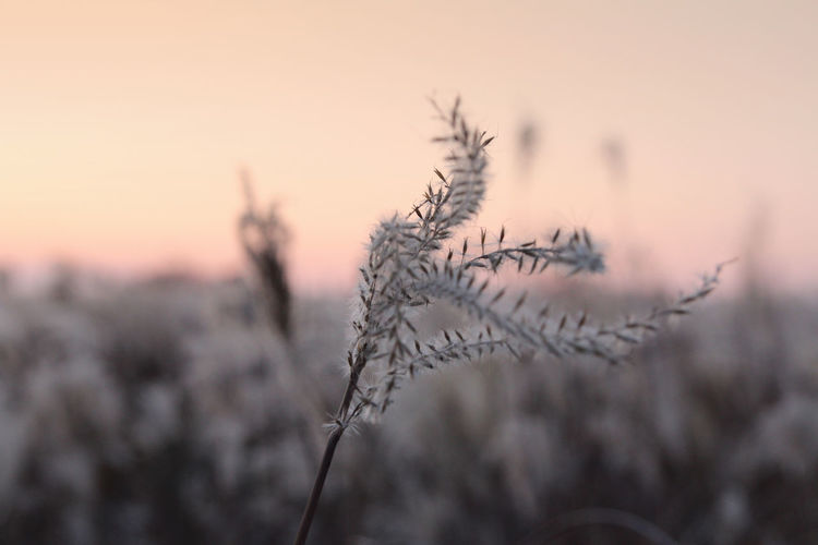 Close-Up Of Plant Against Sky During Sunset