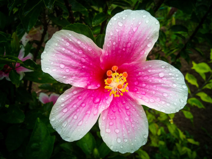 Hibiscus Flower Fragility Nature Pink Color Petal Freshness Beauty In Nature Flower Head Close-up Water Plant Outdoors Growth No People Day Rainyclick