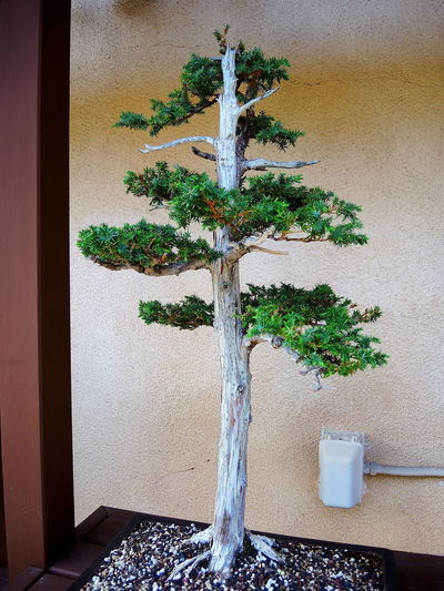 Japanese Garden Bonzai Tree Day Growth Nature No People Tiny Plants Tiny Trees