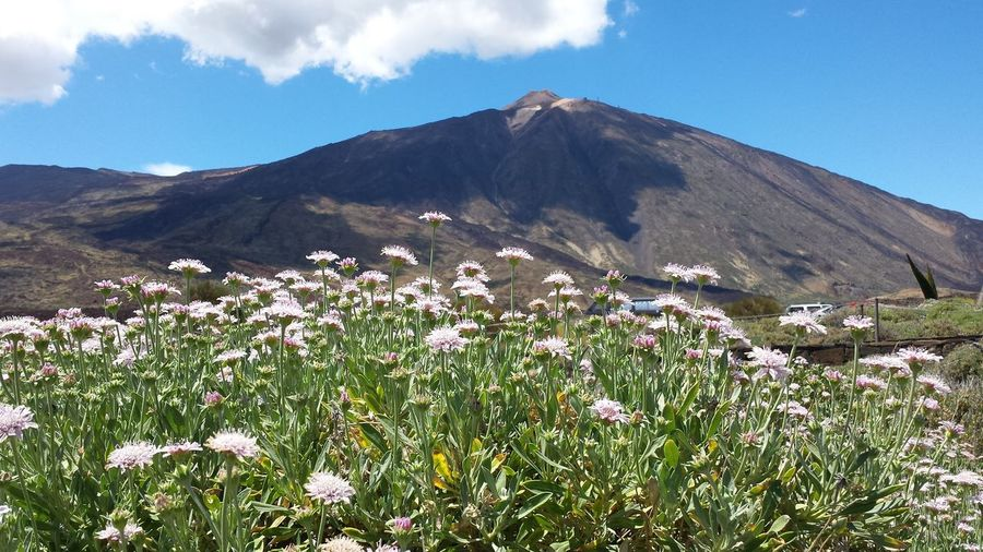 Teide Flower Mountain Field Flower Head Sky Landscape Cloud - Sky Mountain Range Wildflower Flowering Plant