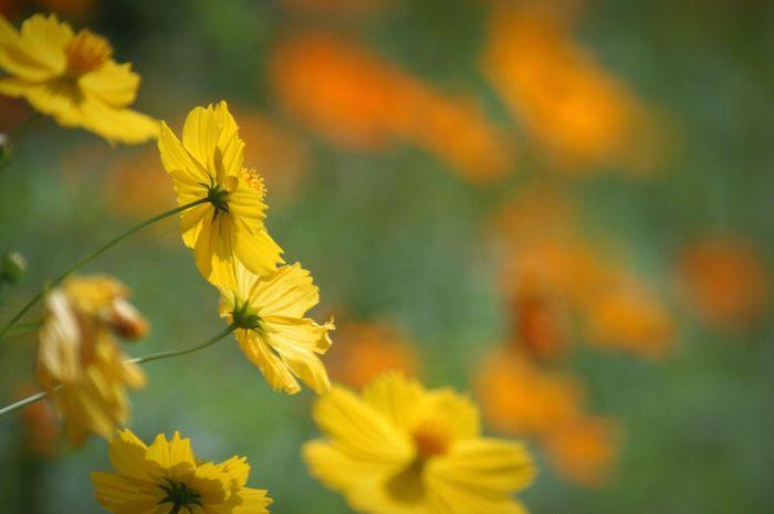 心が寄り添っていれば時間も距離も超えられる。かも。たぶん。きっと。 Nature Flowers キバナコスモス http://youtu.be/jfvhw5T3Q7E