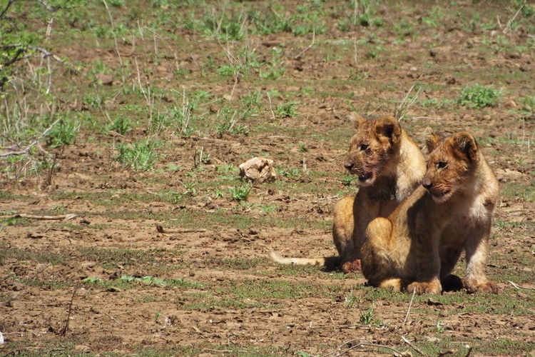 Lion cubs sitting on field