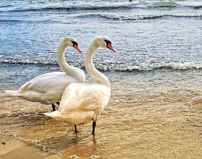 swans at the