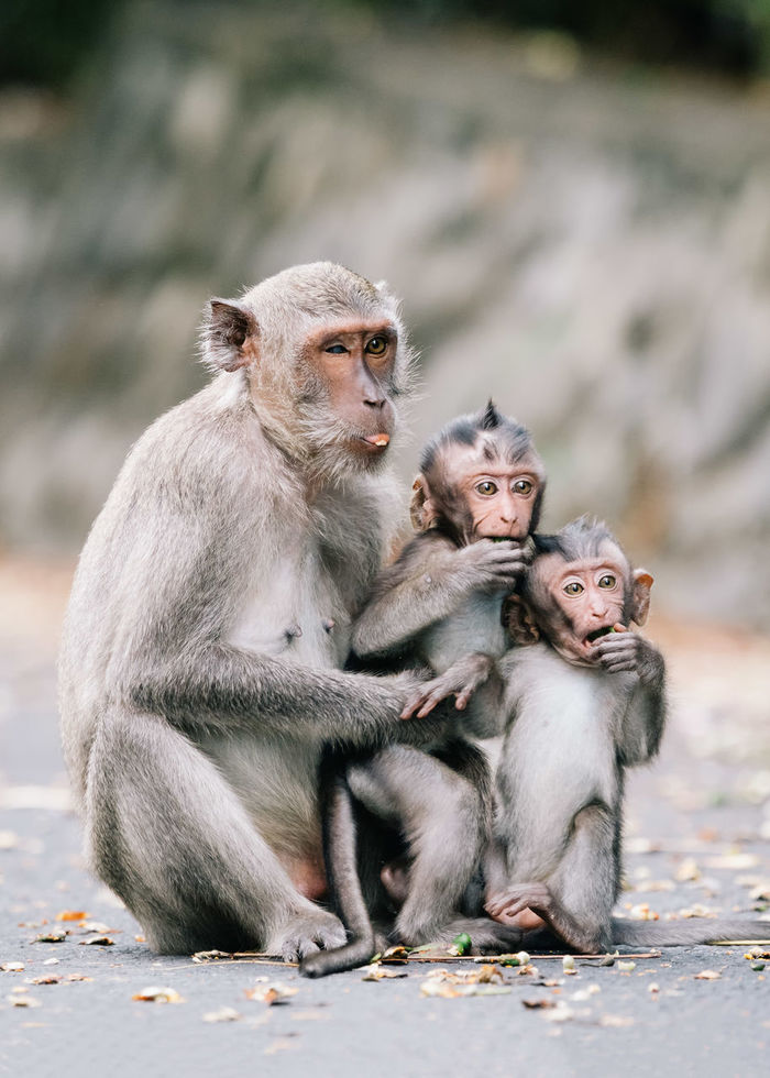 Monkey family sitting on footpath