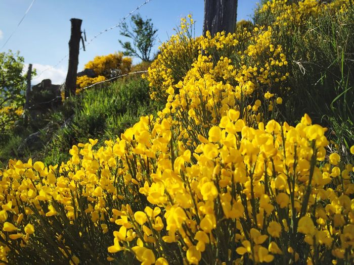 Golden Flowers in the Sun of France ; Nature From Aubrac ! Wild