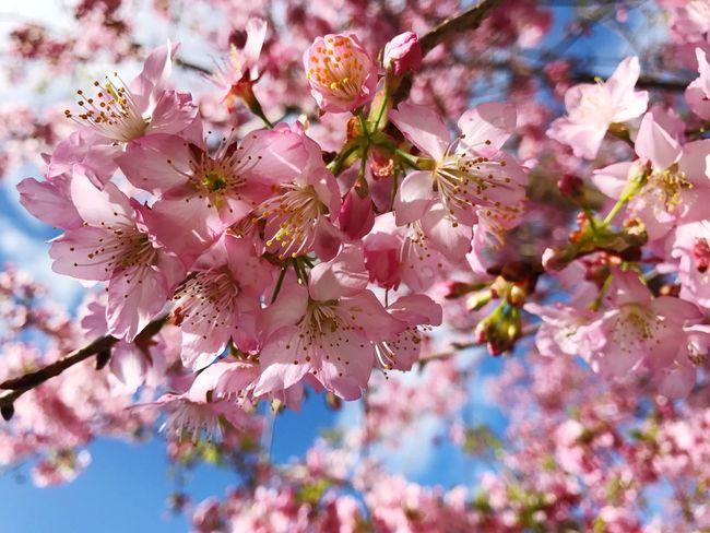 Millennial Pink Cherry Blossoms