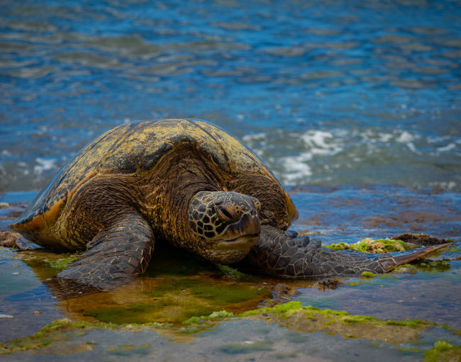 Close-up of turtle in hawaii