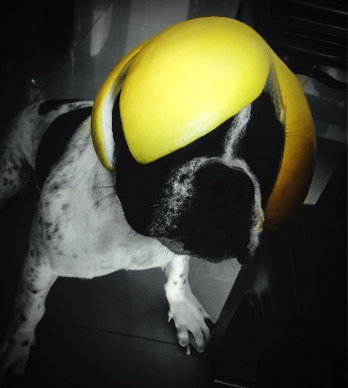 Animals Pet My Pet Animal Themes Dog My Dog Funny Funny Faces Selfie ✌ Bulldog Bulldogfrances Frenchbulldog