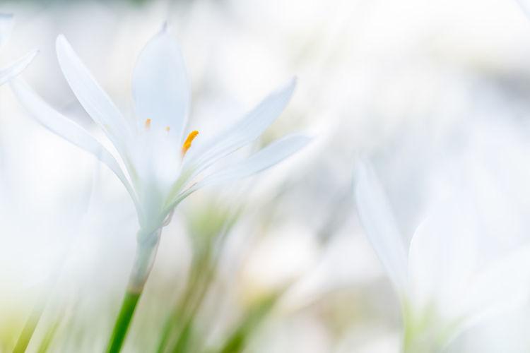 Close-up of white crocus flower