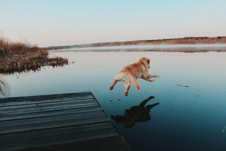 Dog Jumping From Jetty Into Lake