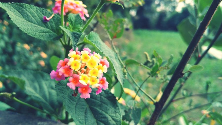 Close-up of lantana camara blooming outdoors