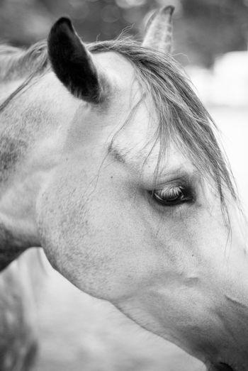 Close-up of arabian horse