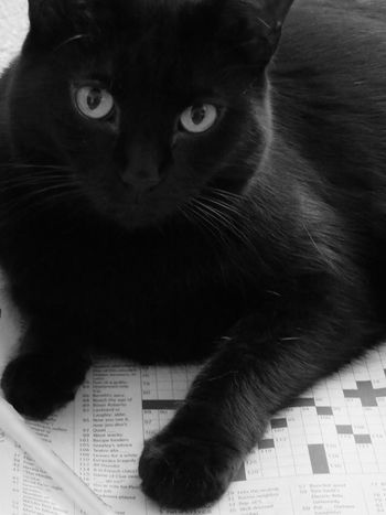 A cat and a crossword puzzle - it doesn't get much better than this! Black Cat Love Black And White Black And White Photography Cat Crosswordpuzzle Domestic Cat Feline Helper Pets first eyeem photo