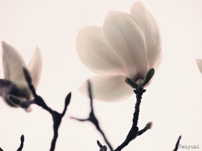 Magnolia-report-2015 Magnolia Flowerporn EyeEm Nature Lover
