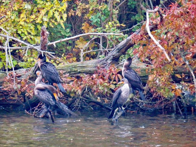 Cormorants at the pond birdwatching beauty in nature water birds of EyeEm trees autumn leaves water Nature No People Outdoors