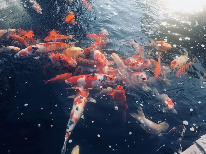Time to rest. Water Swimming Vertebrate Fish Underwater Animals In The Wild Animal Themes Group Of Animals Koi Carp