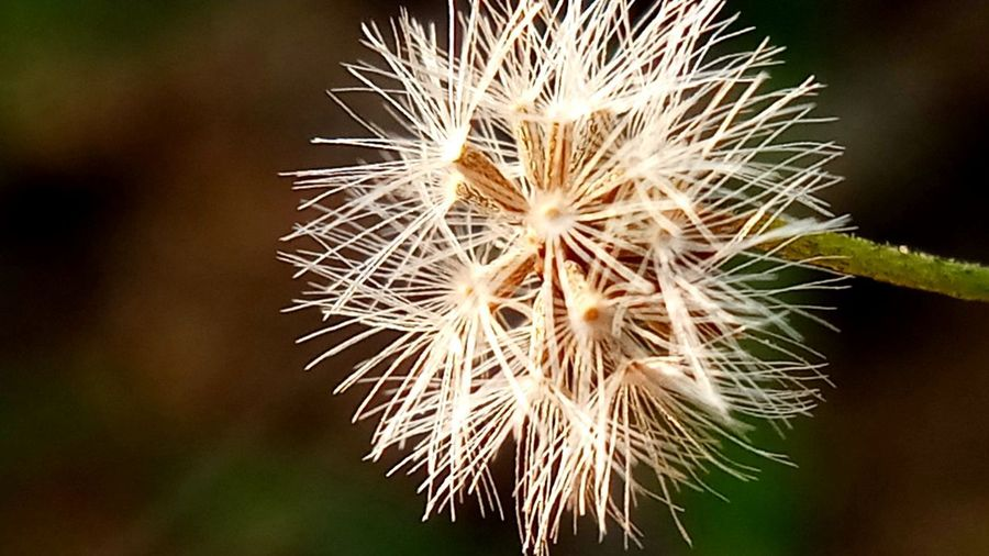 Beauty In Nature Close-up Dandelion Dandelion Seed Day Flower Flower Head Flowering Plant Focus On Foreground Fragility Nature No People Outdoors Sharp Vulnerability