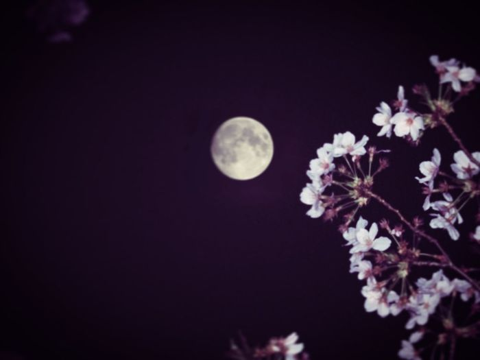 Under the blue moon 月のキレイな夜 満月 Fullmoon Tokyo,Japan No Standard World Streetphotography Tokyo Street Photography Cherry Blossoms Sakura Flower Plant Moon Beauty In Nature Nature