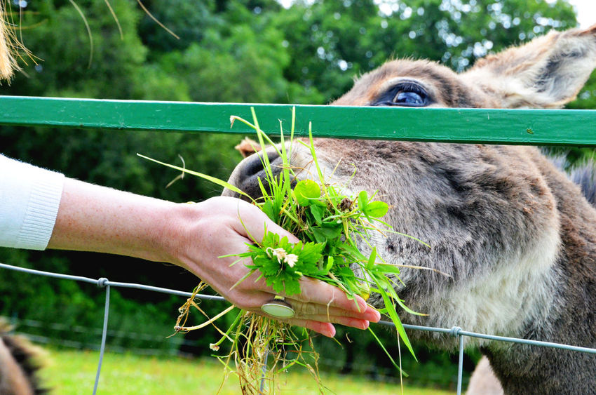 Animal Eating Clover Donkey Donkeys Feeding  Feeding  Feeding Animals Hand Feeding