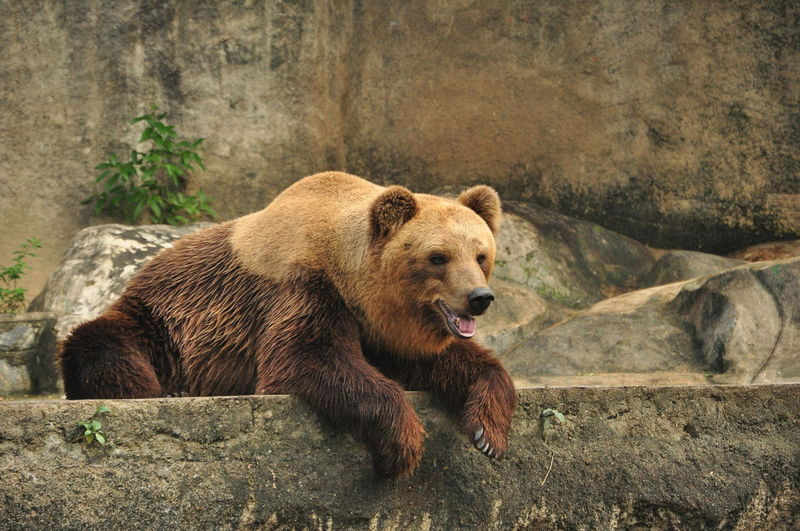 Grizzly Bear Relaxing At Zoo